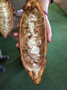 Teuko.com the Lunchbox Community. Cacao pod with white pulp and cacao.