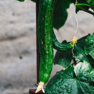 Cucumber growing outdoor