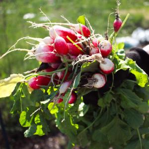 Radishes harvested