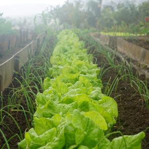 Salads growing outdoor